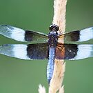 Male Widow Skimmer by lindsycarranza