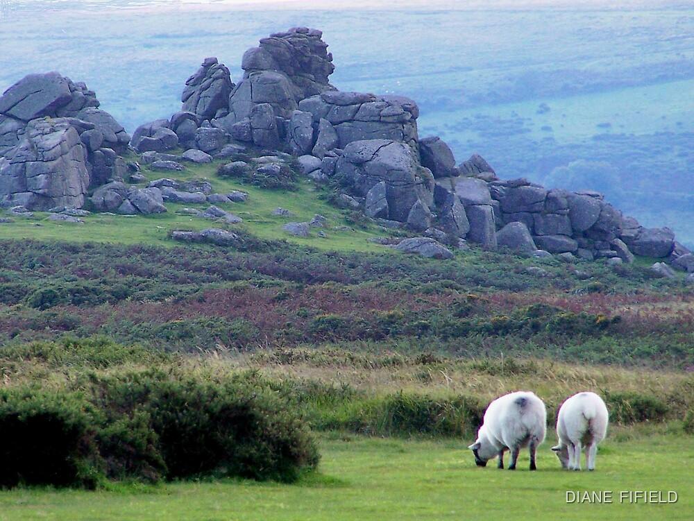 Dartmoor sheep by DIANE  FIFIELD