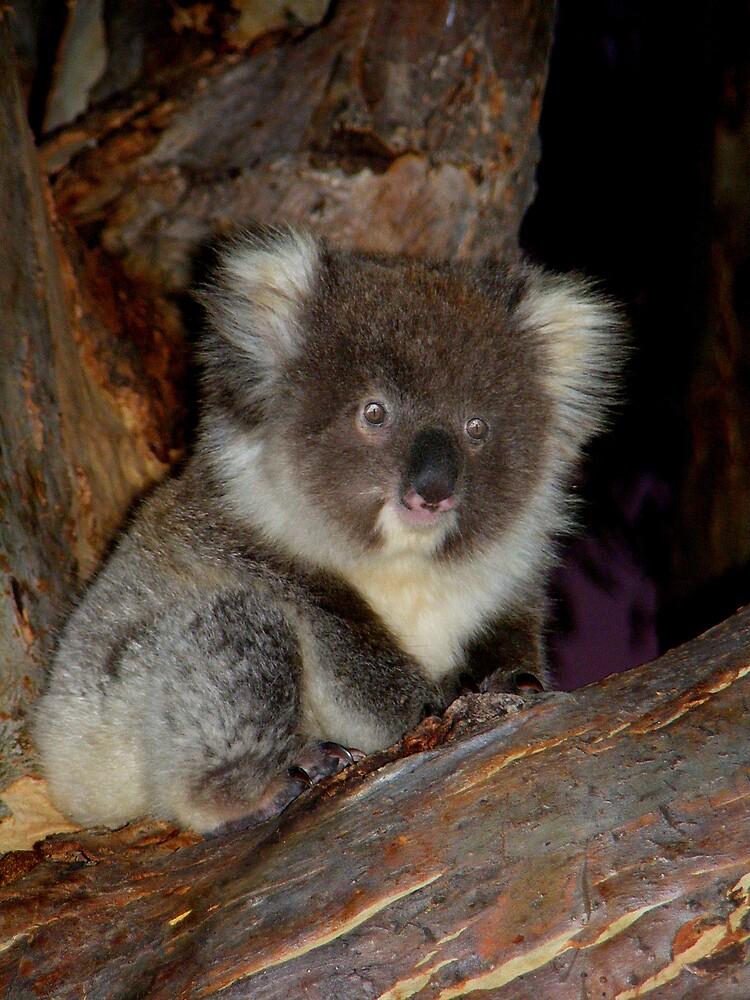 Young Koala Cub by Adam Cole