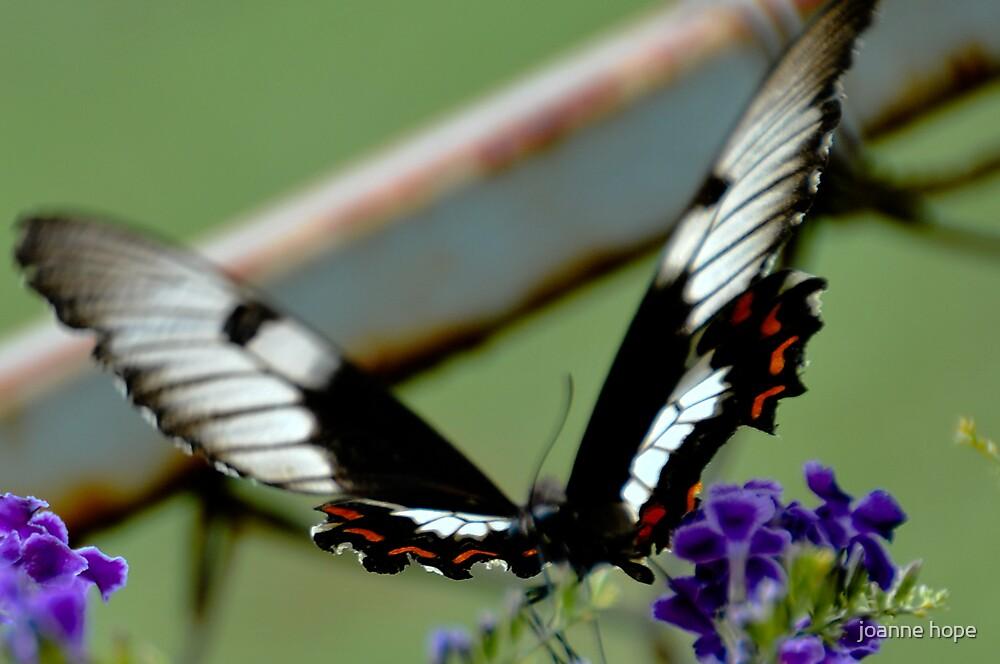 Swallowtail by joanne hope