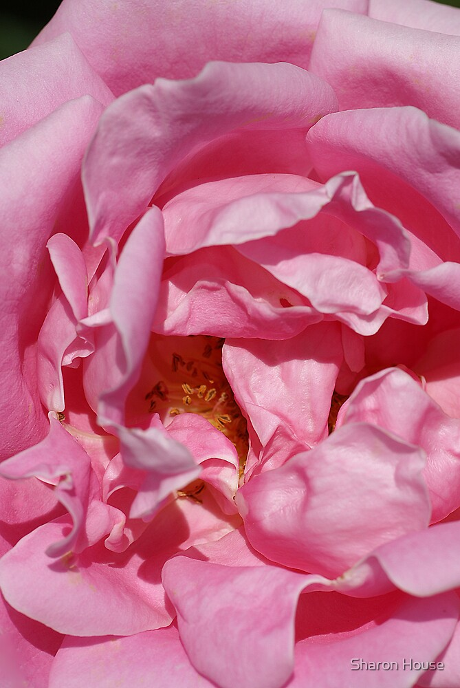 Pink Ruffles by Sharon House