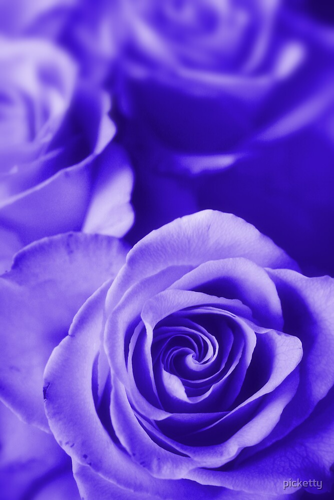 roses purple by picketty