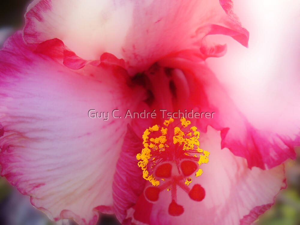 Pink Hibiscus by Guy C. André Tschiderer