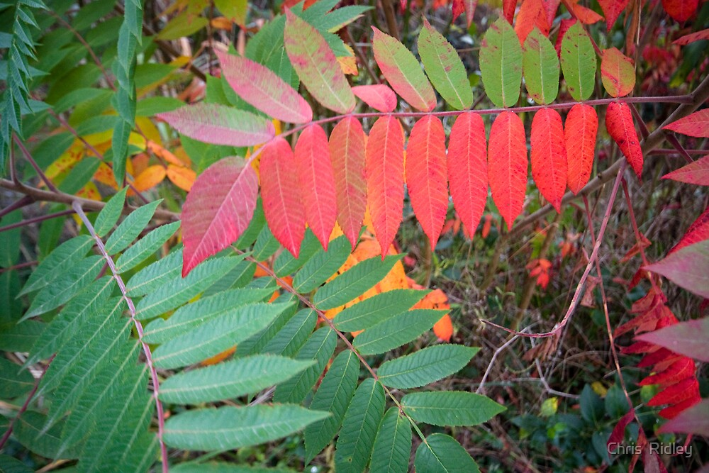 Vibrant Autumnal Colours by Chris  Ridley