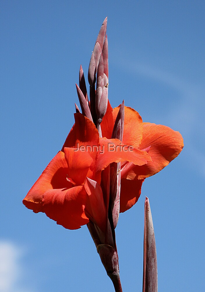 Red Canna Lily by Jenny Brice