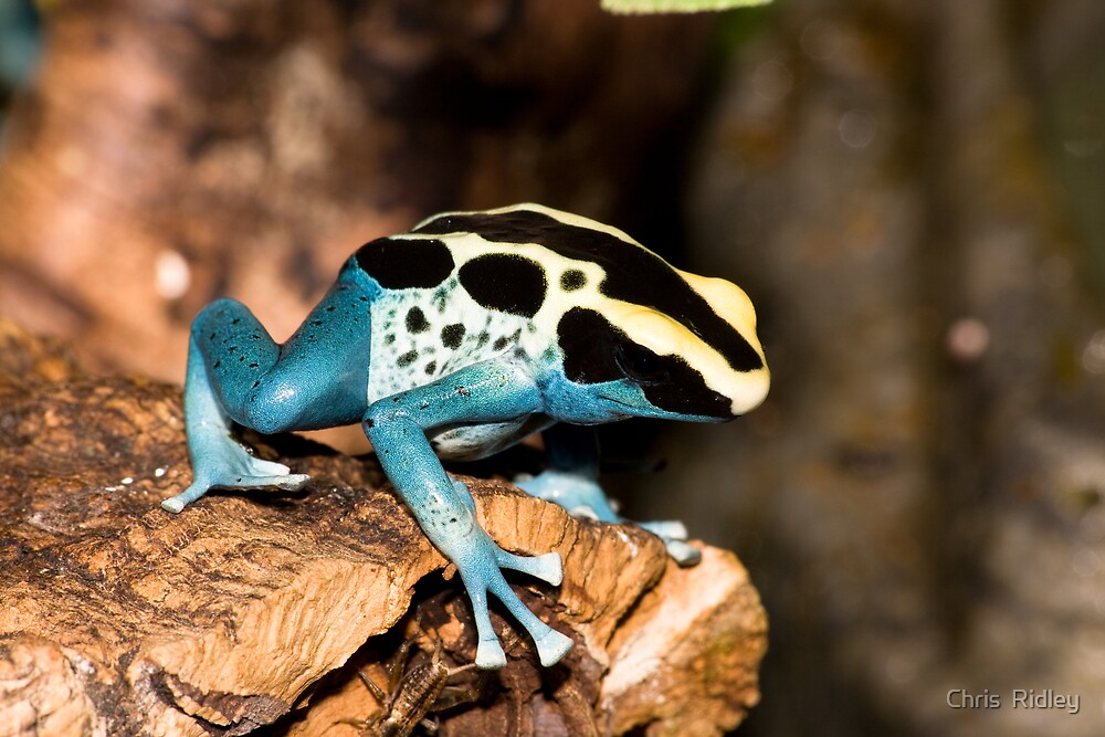 Poison Arrow Frog by Chris  Ridley