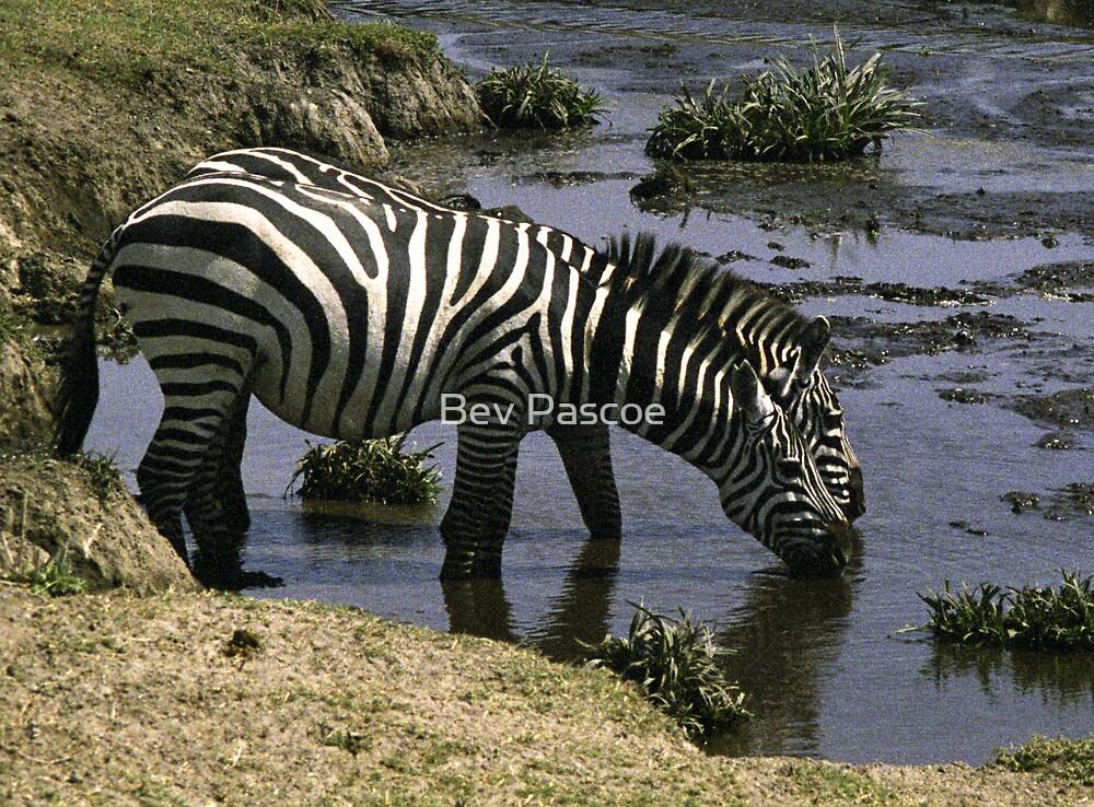 Burchell's Zebra drinking in a river - Tanzania by Bev Pascoe