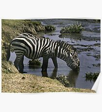 Burchell's Zebra drinking in a river - Tanzania Poster