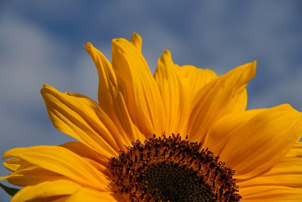 Sunflower by Jeremy Owen