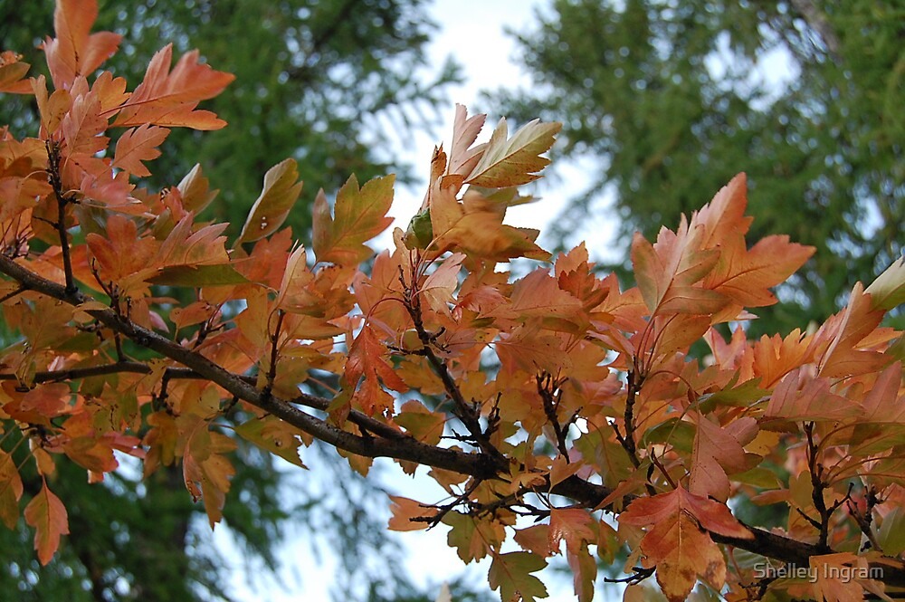 Autum Leaves by Shelley Ingram
