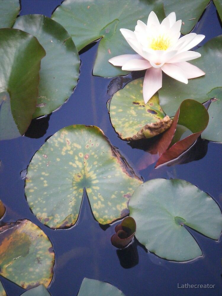 water lillies by Lathecreator
