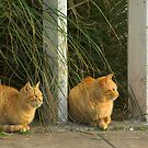 Ginger Cats by AJM Photography