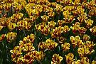 Tulip Festival by Stephen Beattie