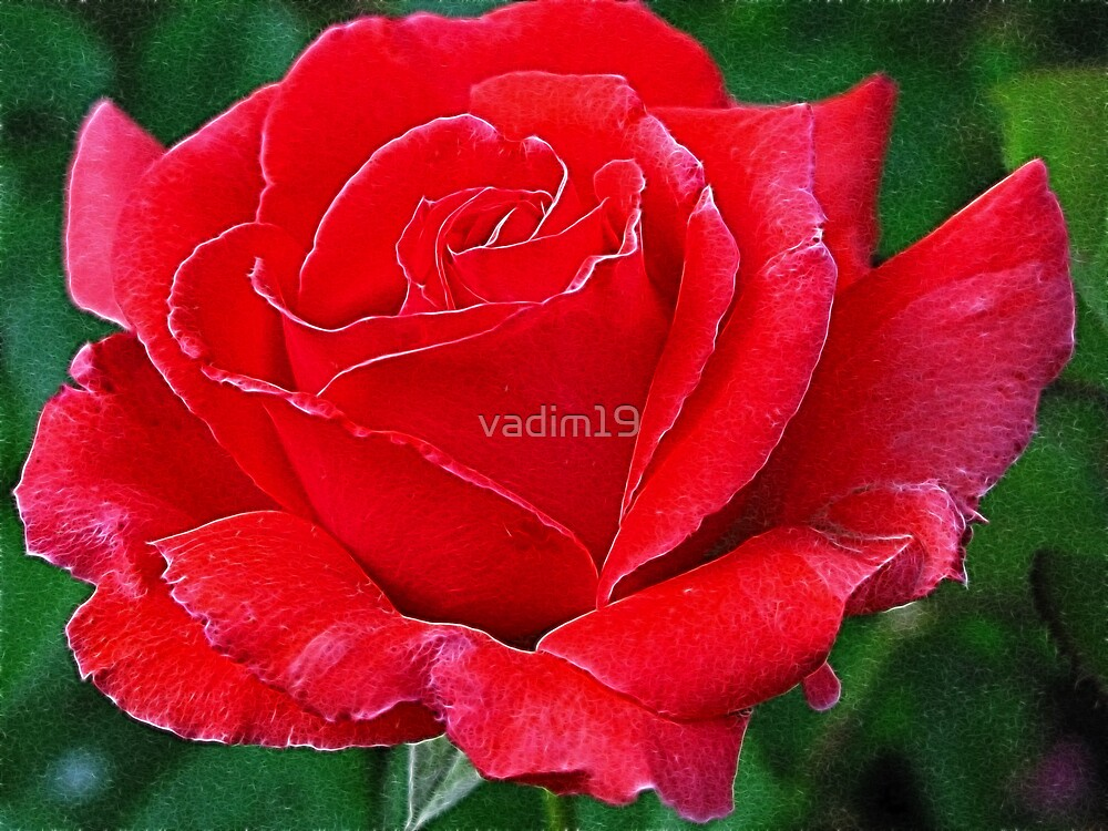 Red Rose by vadim19