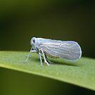 Leafhopper by Andrew Trevor-Jones