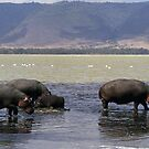 Hippo family & Flamingo in Lake Magadi, Tanzania, Africa by Bev Pascoe