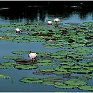 Squam Lilies by Wayne King