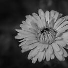 Daisy in Black and White by JeremyF