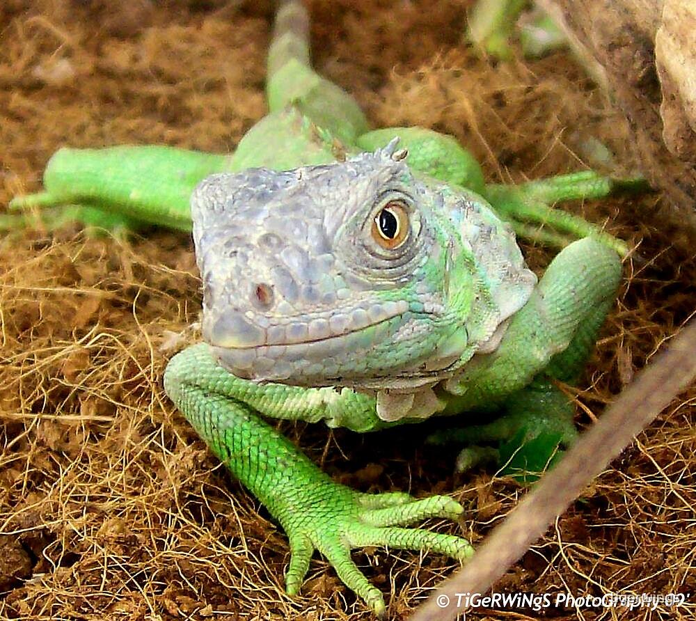 Iguana Salutations by tigerwings