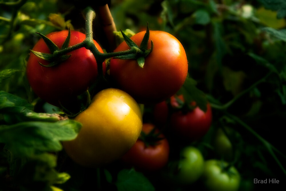 Home Grown Tomatoes by Brad Hile