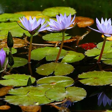 Waterlilies by gavila
