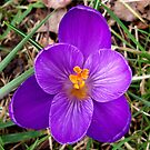 Crocus Time by hootonles