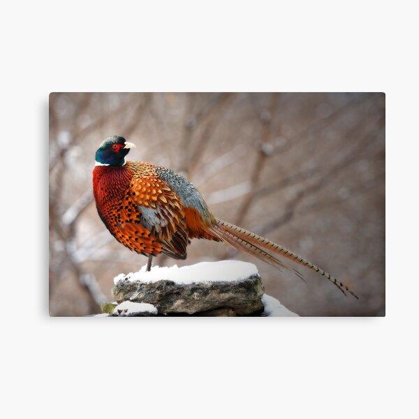 Ring-Necked Pheasant Canvas Print