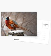 Ring-Necked Pheasant Postcards