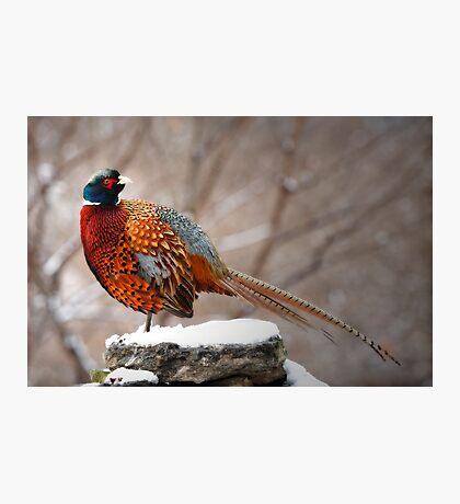 Ring-Necked Pheasant Photographic Print