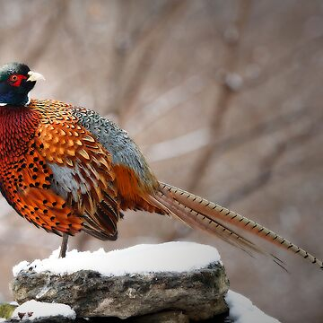 Ring-Necked Pheasant by bobbymcleod