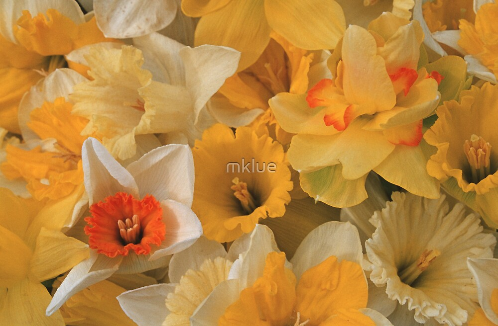 Daffodils by mklue