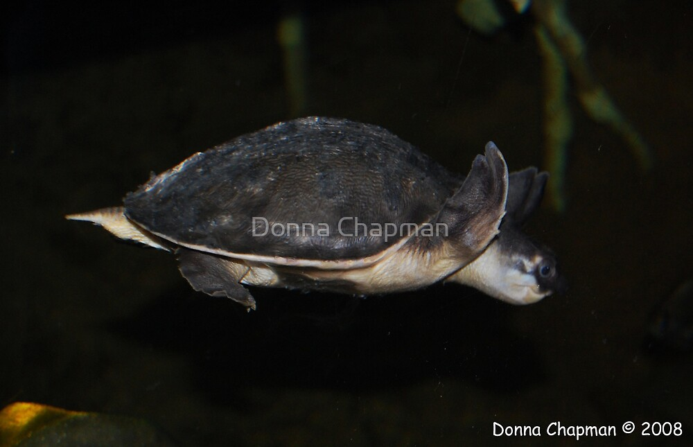 Terrapin by Donna Chapman
