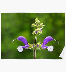 Purple Perennial Poster