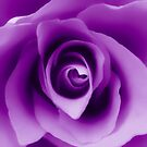 Purple Rose by Nathan Little