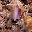 Queen Conch Shells by May Lattanzio