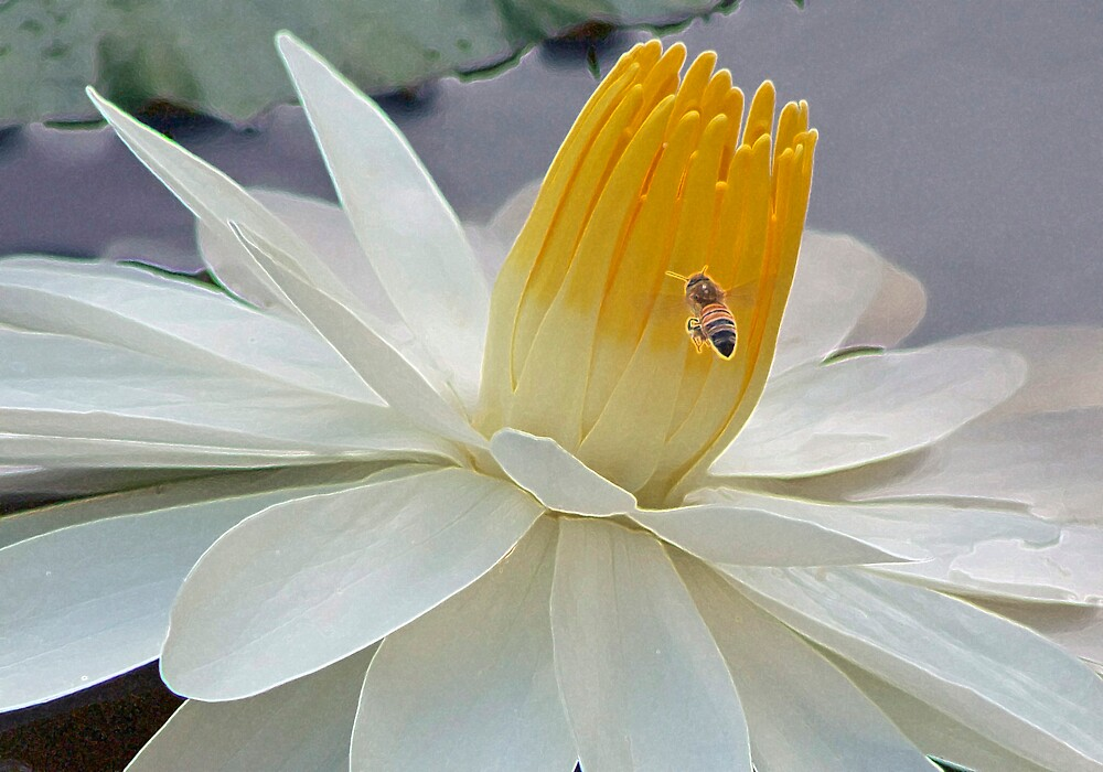 white water lily by Sol Whiteley