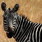 Zebra by Alexandra Martin