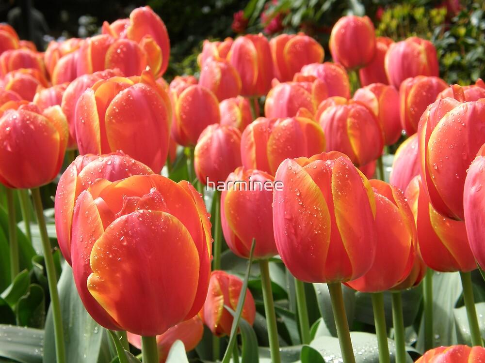 Tulips by harminee