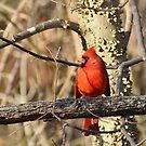Cardinal in Winter by Brad Chambers