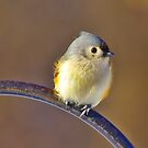Tufted Titmouse in winter by Brad Chambers