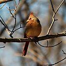 Female Cardinal by Brad Chambers