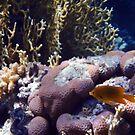 Sulphur Damselfish Among The Corals by hurmerinta
