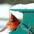 Cardinal on feeder by Brad Chambers
