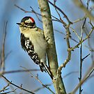 Downy Woodpecker by Brad Chambers