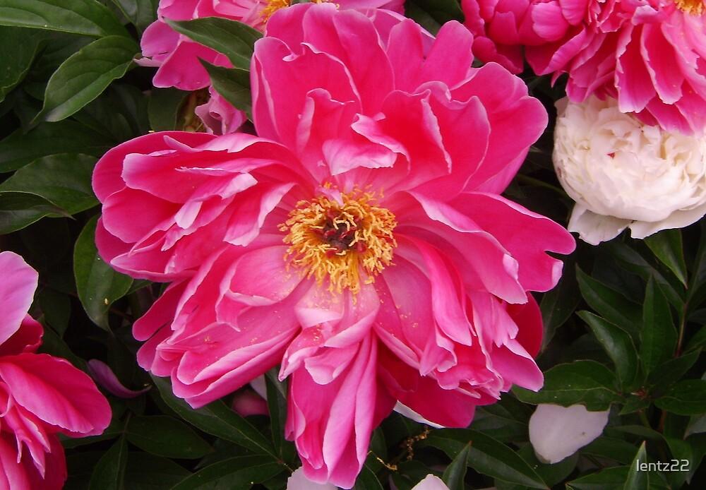 Hot pink flower by lentz22