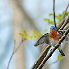 Fluttering Bluebird by Bonnie T.  Barry