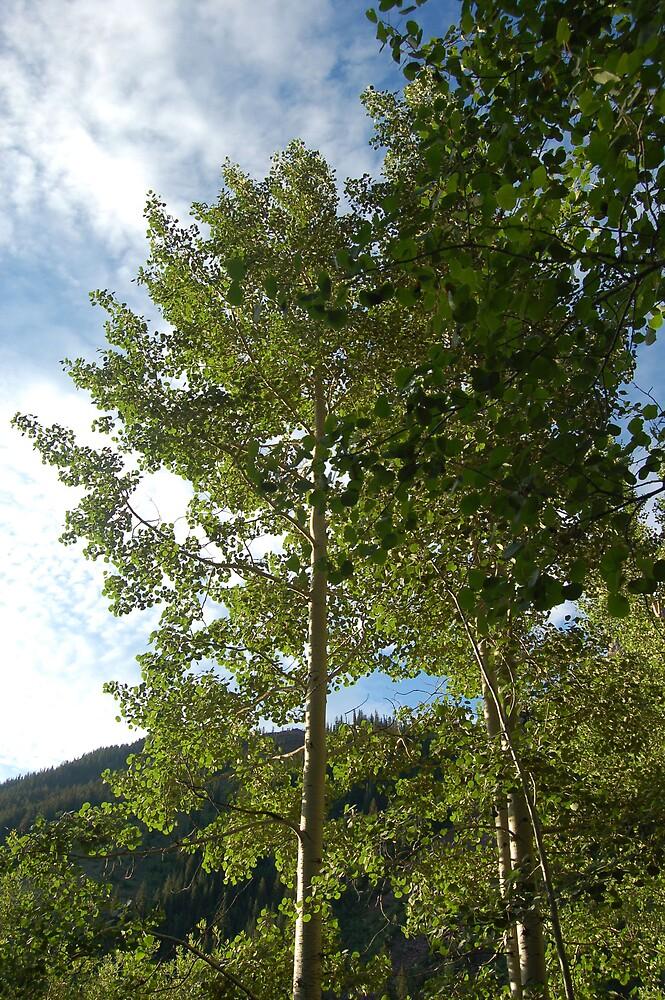 aspen tree by swimchk512