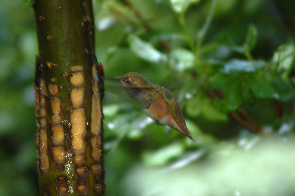 humming bird! by swimchk512