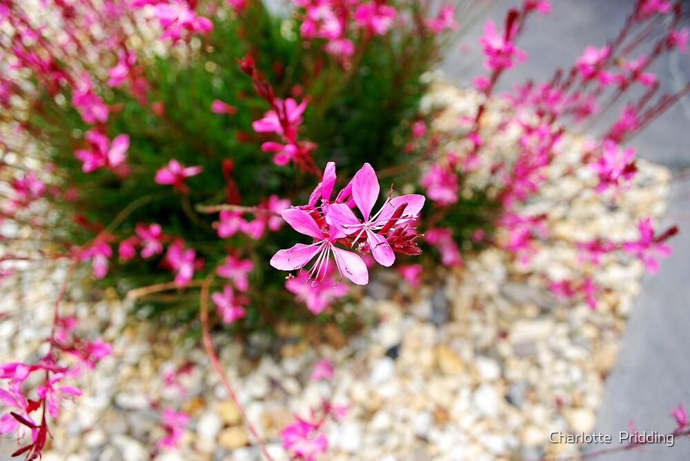 Backyard Blossom  by Charlotte Pridding