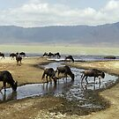 Wildebeeste in the Crater - Tanzania, Africa by Bev Pascoe